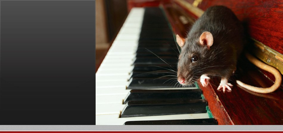 Rat / Rodent sitting on a piano