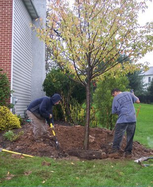 Two men planting trees on the backyard