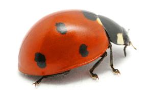 Ladybug Control - Sevierville, TN - All Pro Pest Control