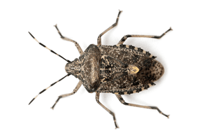 Stink Bug Control - Sevierville, TN - All Pro Pest Control