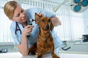 Vet checking ears of a dog
