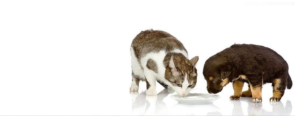 Kitten and puppy drinking