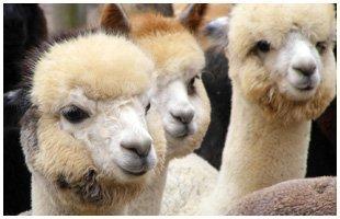 alpaca breeder