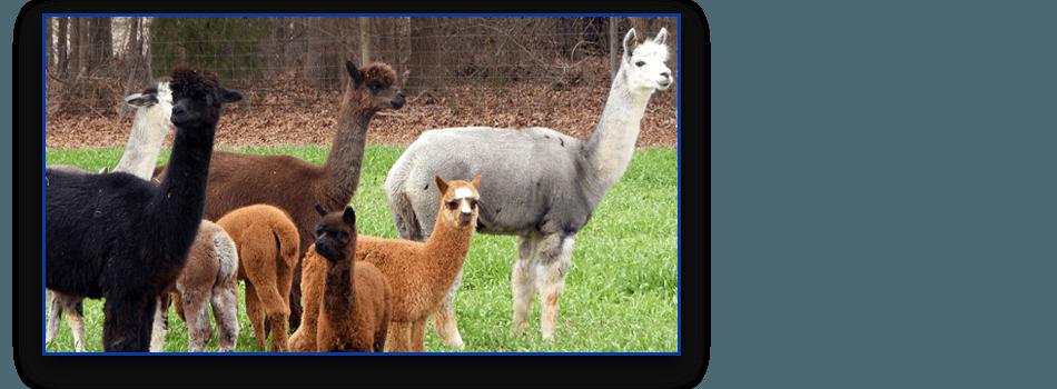 Various alpaca