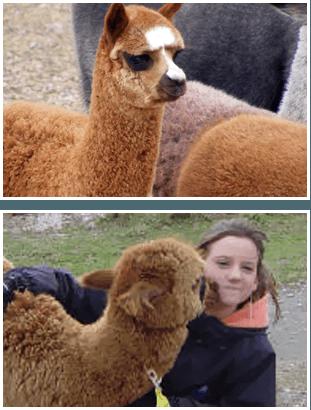 Joe Porter (Monroe, NC) and Daphne Porter Heffler (Florence, SC) Awesome Alpaca owners