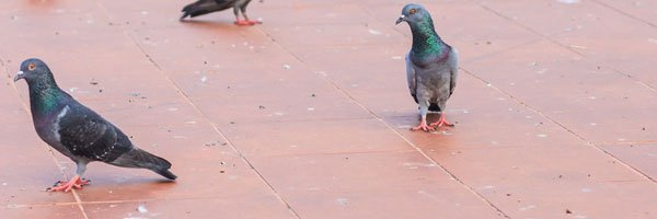 Cleaning Pigeon Droppings