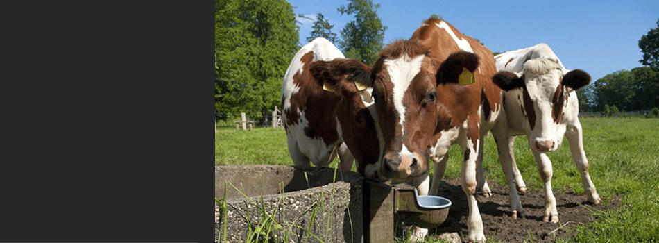 Ayshire cattle