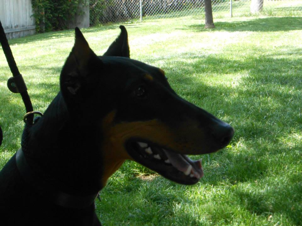 Dog Ear Crop Surgery