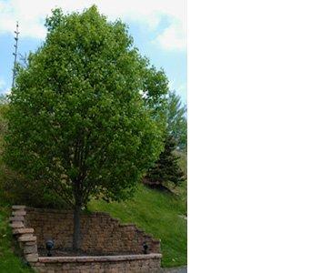 Tree Removal - Saint Charles, IL - Shamokin Tree Care - tree trimming