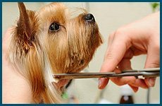 Groomer cutting the dog's hair