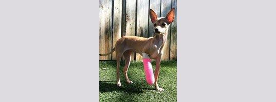 Pet  Knee Surgery