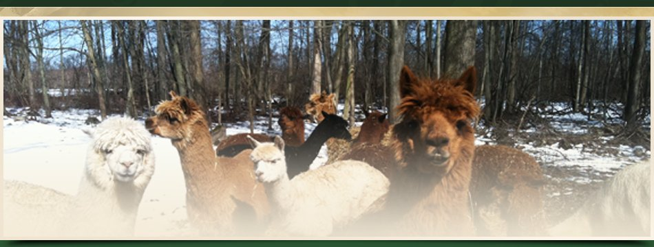 Adopt Alpacas | Walden, NY | Saddle Brook Farm Animal Rescue | 845-778-3420
