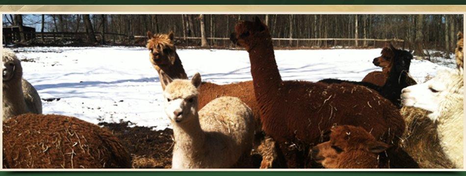 Adopt Alpacas | Walden, NY | Saddle Brook Farm Animal Rescue | 845-778-3420