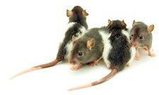 Mice crawling