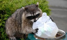 Racoon eating garbage