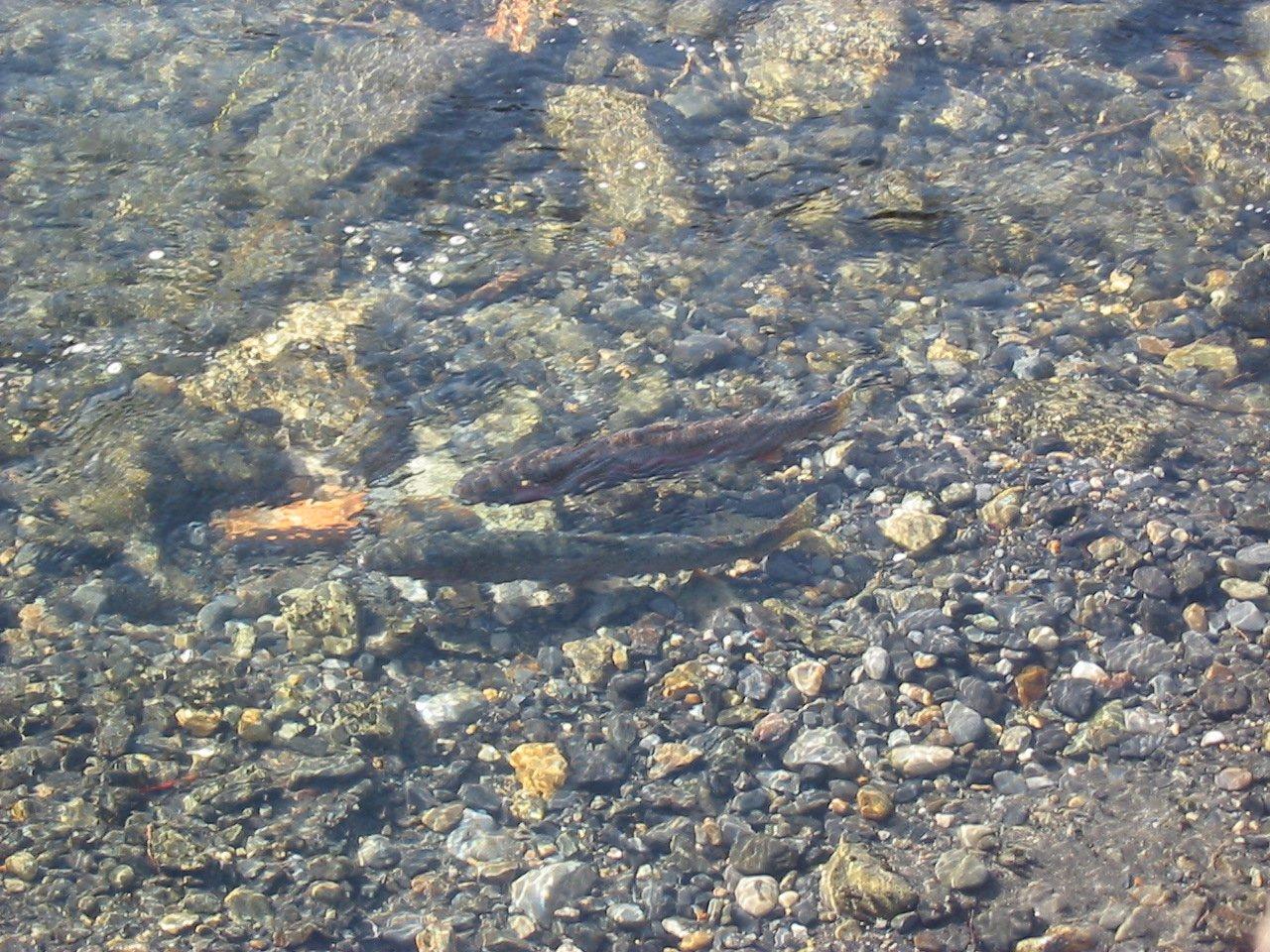 Steelhead Fish