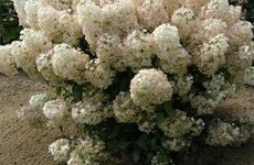 Landcape design | Ann Arbor, MI | Abbott's Landscape Nursery | 734-665-8733 (TREE)