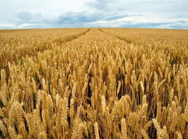 Wheat: Winter and Spring