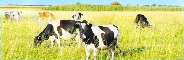 Farm with cow