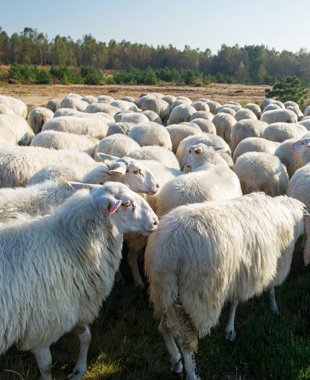 Sheeps in a row