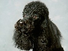 dog groomers - Lincoln Park, MI - Eve's Poodle Salon
