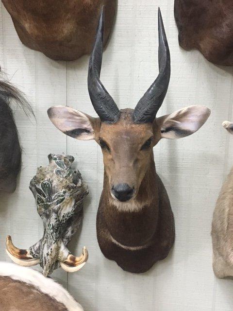 Shoulder deer