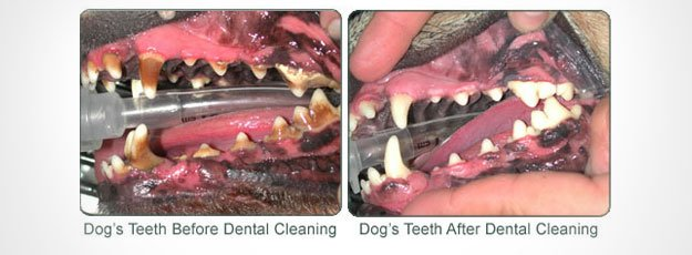 Dog teeth cleaning Before and After