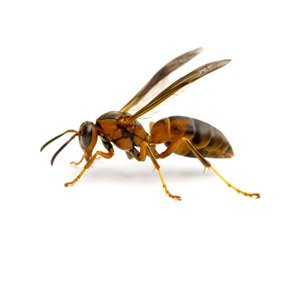 Bees & Wasp Removal