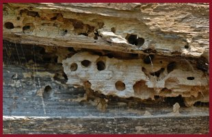 termite infestation in the wood