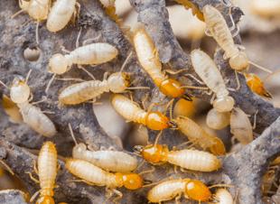 Pest control services, Pest guide, Termites, spiders, roaches, fleas, ants - Windsor, MO 65360 - B&M Pest Control