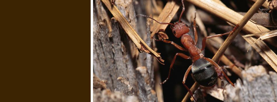 Red carpenter ant