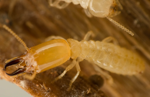 A termite destroying a wood