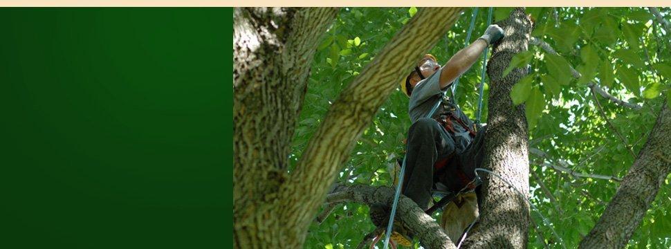 tree pruning | Schenectady, NY | Harmony Tree Service | 518-355-4700