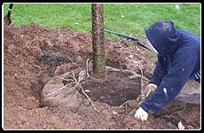 Tree Services | Santa Clarita, CA | Abel's Gardening Service | 661-476-5883
