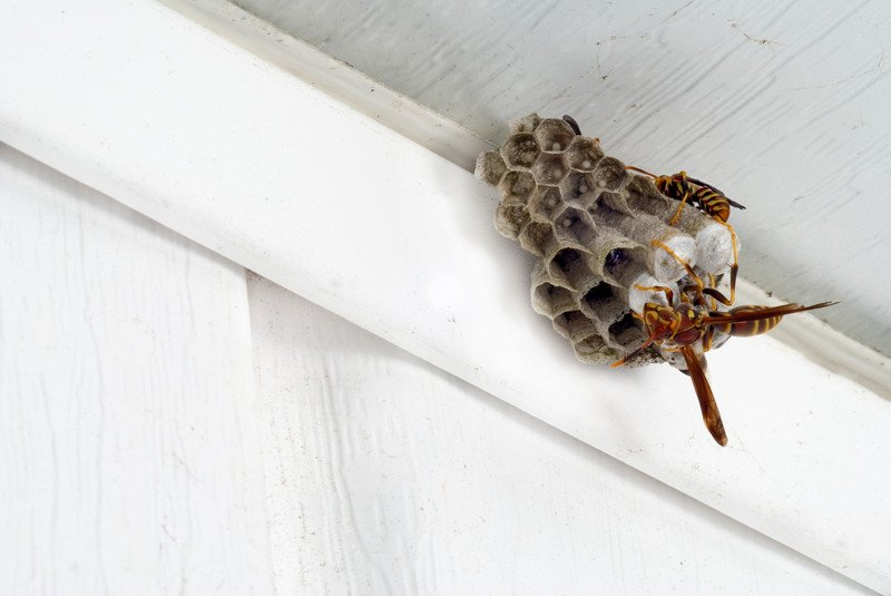 Paper Wasp Nest Removal Amp Control Pittsburgh Pennsylvania