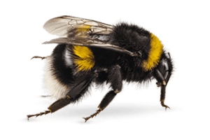 Bumble Bee Removal Pittsburgh, PA