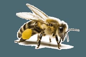 Honey Bee Control Pittsburgh, PA