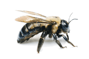 Carpenter Bee Extermination Pittsburgh, PA