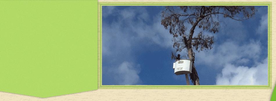 Tree Shaping | Maui, HI | DeCoite Tree Service | 808-573-2756