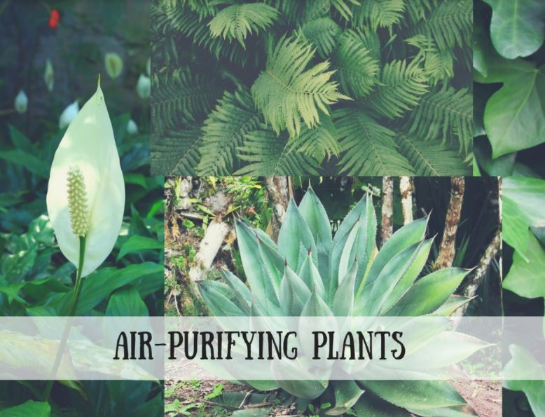 Air Purifying Plants Do You Have Any