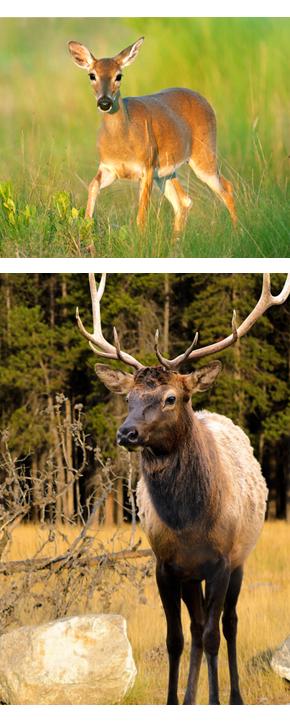 Dog & Elk