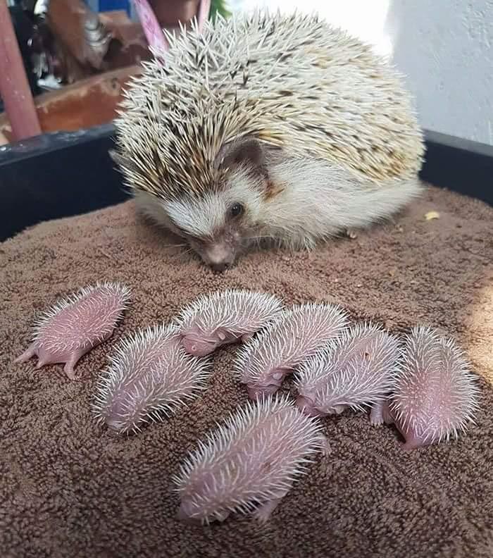 Hedgehog and Babies