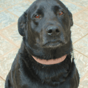 black Labrador with pink collar