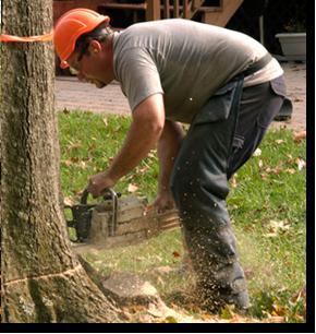 Tree removal   Roxbury, NJ   Arbor Barber   973-479-9555   201-317-7927