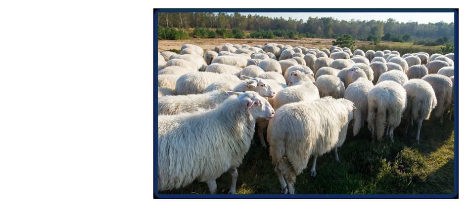 Cattle white Veluwe sheep