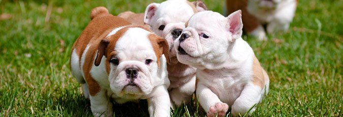 Purebred Puppies | Bulldogs and Pit Bulls | Cincinnati, OH