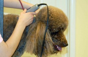 Dog hair cut and trimming