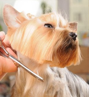 Dog hair styling