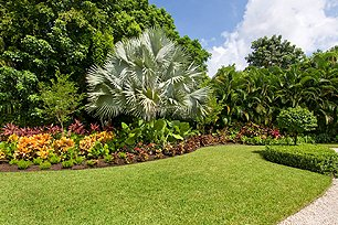 Great lawn with Bismarck palm