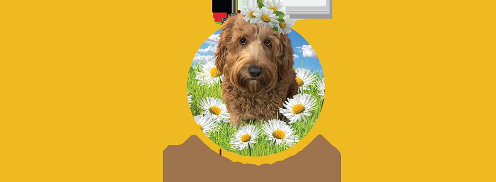 Wild Daisy Labradoodles Dog Breeder Mount Airy Md